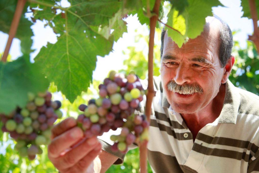 Druiven plukken met de eigenaar