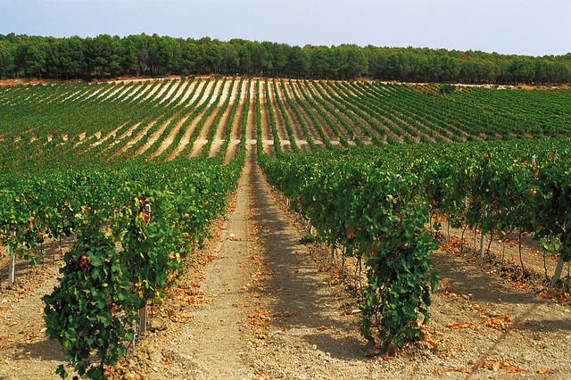 wijngaard sicilie